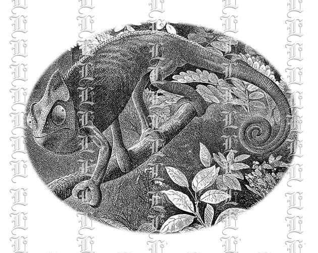 Chameleon Iguana Lizard