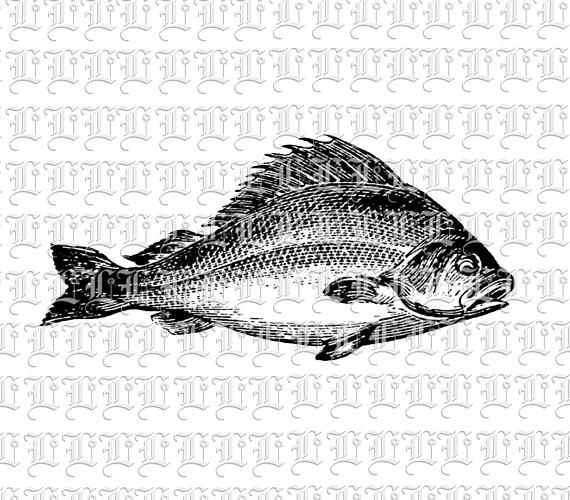 Fresh Water River Fish Graphic Vintage Clip Art Image Public