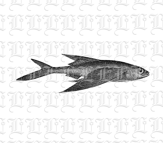 Antique Graphic Ocean Animal Flying Fish Vintage Clip Art Public ...