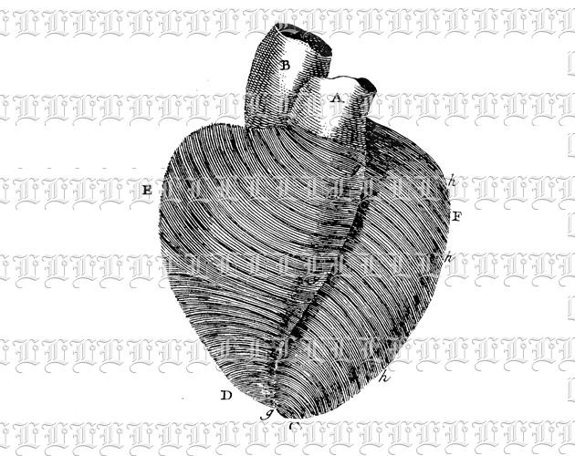 Medical Chart Human Organ Heart Anatomy Study Vintage Clip Art Illustration High Resolution 300 dpi.